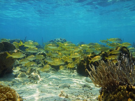 Seabed with shoal of grunt fish in a coral reef of the Caribbean sea