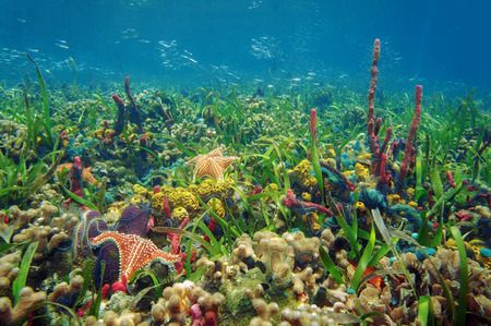 sea grass: Thriving and colorful underwater marine life in tropical seabed with sponges, starfish, coral and small fish, Caribbean sea Stock Photo