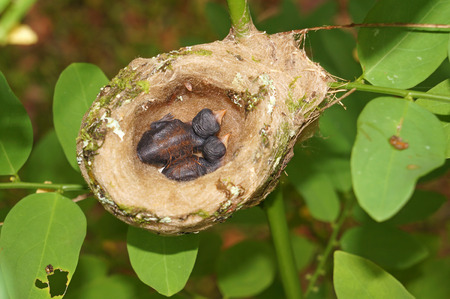 2 days old baby Rufous-tailed hummingbird in the nest, Costa Rica, Central America photo