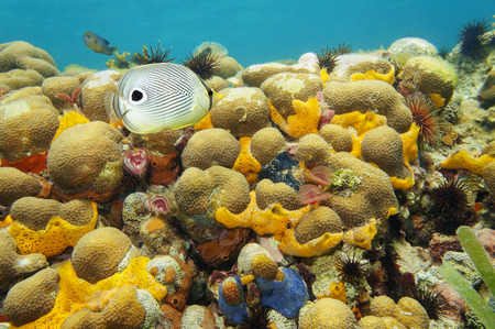 colorful coral reef under water with sea sponge, fan worm, urchin and a foureye butterflyfish, Caribbean photo