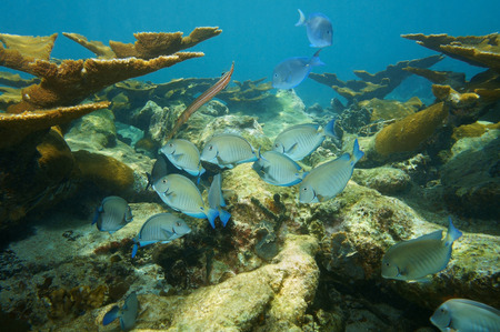 elkhorn coral: fish school of Doctorfish tang in a coral reef of the Caribbean sea