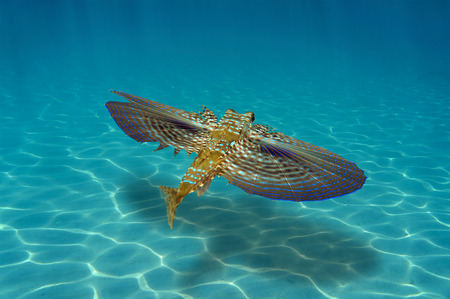 Flying Gurnard fish underwater swims over sandy seabed with sunlight