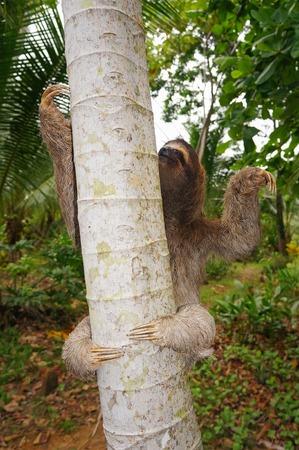 toed: three-toed sloth climbing on a tree, Panama, Central America Stock Photo