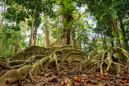 tropical tree and roots in the jungle of Costa Rica photo