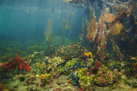 colorful underwater marine life in the mangrove of the Caribbean sea photo