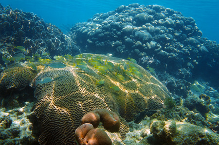 grunt: underwater coral reef with school of grunt fish in the Caribbean sea Stock Photo