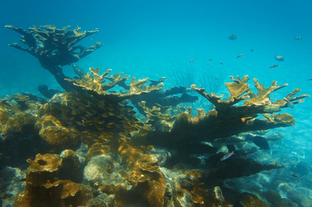 elkhorn coral: underwater landscape in a reef with colonies of elkhorn coral and a shoal of Glassy sweeper fish, Caribbean sea Stock Photo