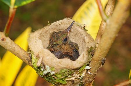 baby bird of Rufous-tailed hummingbird in the nest, 18 days old, Costa Rica, Central America photo
