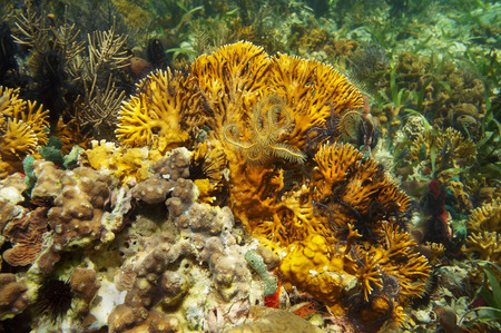 branching coral: branching fire coral, Millepora alcicornis with brittle stars, Caribbean sea Stock Photo