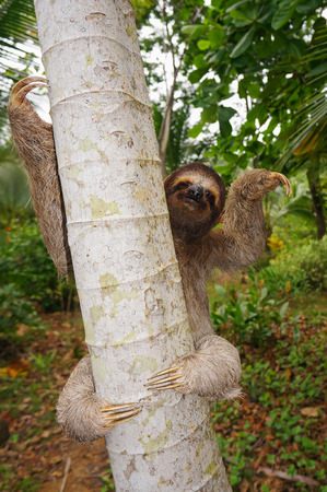 toed: Brown-throated sloth on a tree, Panama, Central America