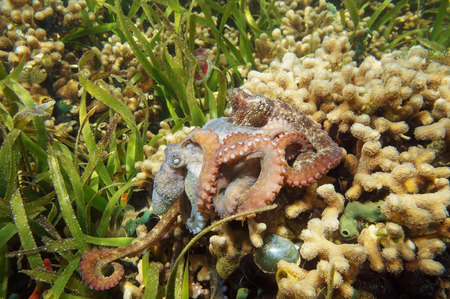 copulate: Caribbean reef octopus, Octopus briareus, mating on a coral reef