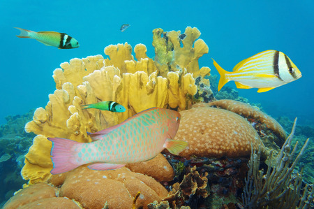 stony corals: corals under the sea with colorful tropical fish, Caribbean, Mexico