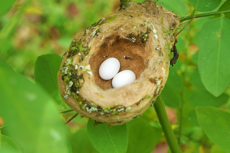 hummingbird nest with egg, Costa Rica photo