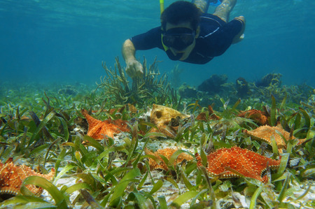cushion sea star: man in snorkel underwater looks starfish with a queen conch on the seabed, Caribbean sea Stock Photo