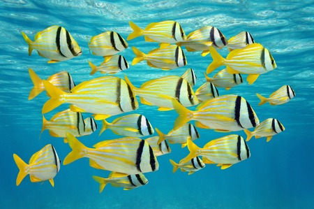 exotic fish: school of tropical fish, porkfish Anisotremus virginicus near water surface, Caribbean sea