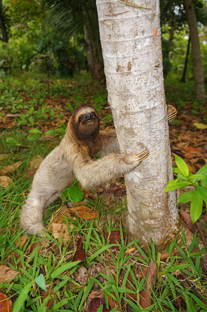 brown throated: A three-toed sloth on the ground ready to climb on a tree, Panama, Central America