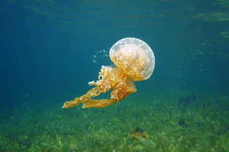 Spotted jelly, Mastigias jellyfish in the Caribbean sea, Bocas del Toro, Panama