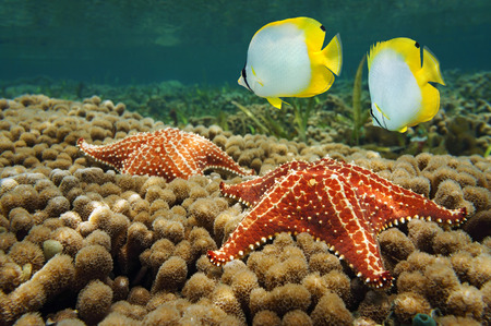 cushion sea star: starfish underwater over coral with two butterflyfish, Caribbean sea Stock Photo