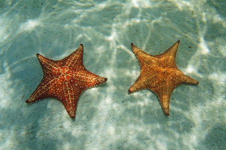 two cushion starfish underwater with sunlight on sandy seabed in the Caribbean sea