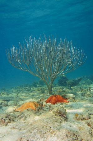 oreaster reticulatus: two starfish with sea rod coral underwater in the Caribbean sea Stock Photo