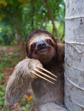 Portrait of Brown-Throated sloth on a tree, Panama, Central America 版權商用圖片