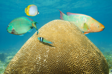 brain coral underwater with colorful tropical fish photo