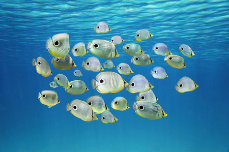exotic fish: School of tropical fish, Four-eyed Butterflyfish under water surface, Caribbean sea Stock Photo