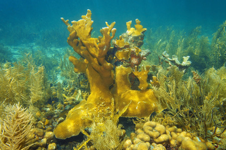 elkhorn coral: Underwater reef of the Caribbean sea with strange forms of Elkhorn coral