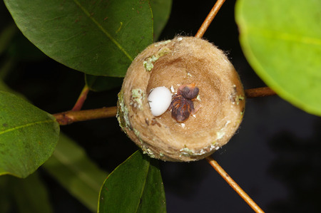 hummingbird nest with one egg and one baby, Costa Rica photo