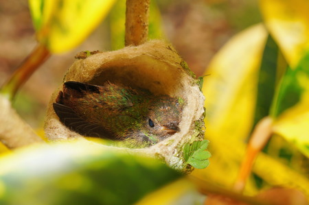 rufous: Baby hummingbird of Rufous tailed in nest, Costa Rica, Central America