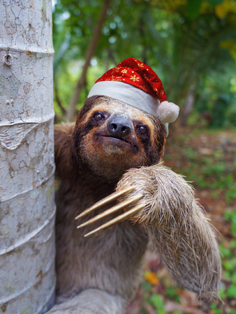 brown throated: Christmas animal, portrait of a sloth wearing a santa hat