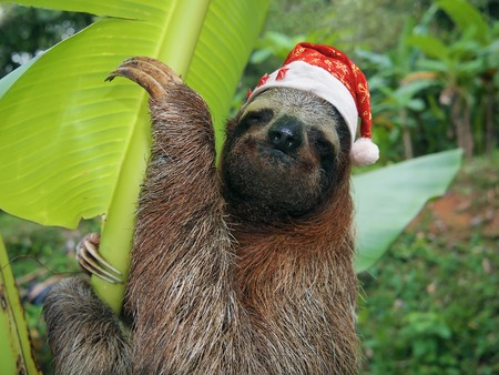 brown throated: Christmas animal, portrait of a sloth wearing a santa hat, Costa Rica