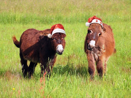 ass christmas: Christmas animals, two donkey eating grass in a field and wearing a santa hat