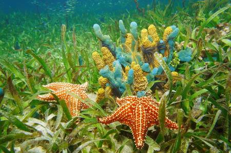 estrella de mar: La vida bajo el agua con esponjas de colores y estrellas de mar rodeadas de pastos marinos en el mar Caribe
