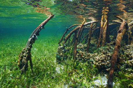 Mangrove onderwater met zeeleven in de wortels, de Atlantische Oceaan, Bahama's