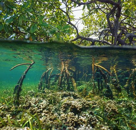 Over en onder het wateroppervlak in de mangrove met koraal en jonge vis in de wortels