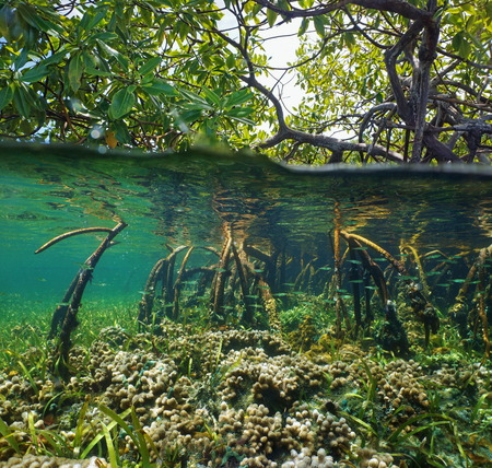 Over and under water surface in the mangrove with coral and juvenile fish in the roots