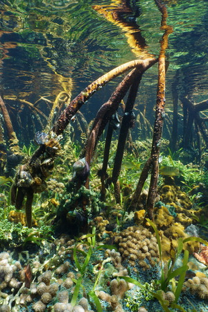 Tree roots of red mangrove underwater with thriving marine life photo