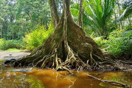 tropical tree: �rbol tropical con ra�ces de contrafuerte en el borde de un pantano en la selva de Costa Rica Foto de archivo