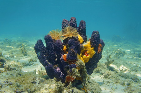sea creatures: Colorful underwater creatures with sea sponges and feather duster worms, Caribbean sea