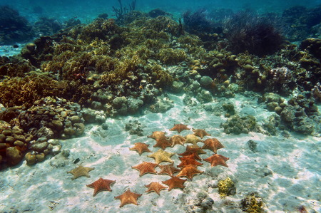 Many Cushion sea stars underwater on sandy seabed near a coral reef Stock Photo