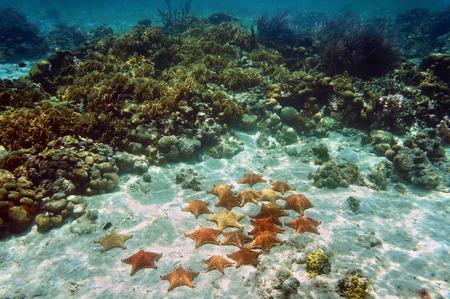 cushion sea star: Many Cushion sea stars underwater on sandy seabed near a coral reef Stock Photo