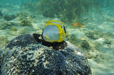 butterflyfish: Nest of tropical fish Spotfin Butterflyfish in a sponge, Caribbean sea Stock Photo
