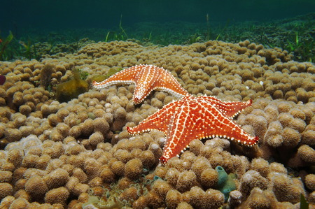 Two Cushion starfish underwater over branched finger coral, Caribbean sea