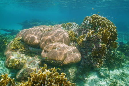 stony corals: Underwater landscape in a reef with massive starlet and bladed fire corals, Caribbean sea Stock Photo