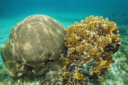 hard coral: Underwater life, symmetrical brain coral, Diploria strigosa and bladed fire coral, Millepora complanata, Grand Bahamas, Atlantic Ocean Stock Photo