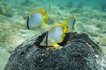 ocellatus: Nest of tropical fish Spotfin Butterflyfish in a sponge, Caribbean sea Stock Photo