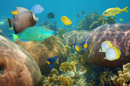 Colorful tropical fish underwater in a coral reef of the Caribbean sea photo