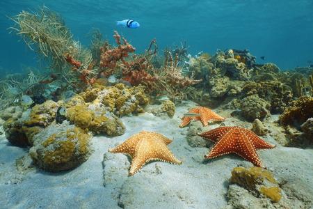 oreaster reticulatus: Cushion sea star underwater with coral and sponge, Caribbean sea