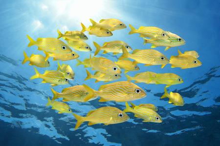 School van tropische vissen, vier-ogen Butterflyfish onder het wateroppervlak, Caribische zee Stockfoto